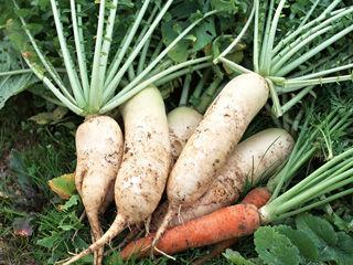 冬吃萝卜的养生窍门