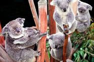 世界上最可爱的动物:考拉