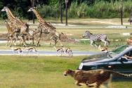 香江野生动物世界自驾车