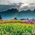 3000多亩的沙口镇油菜花田 作者:@黑摄会_