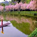 宫粉紫荆满堤