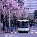 紫荆花下电车过 作者:@-Libre_
