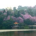 紫荆花开的美丽季节 作者:@晨依