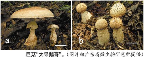 穗白云山发现新品种巨型蘑菇 有微毒不宜食用