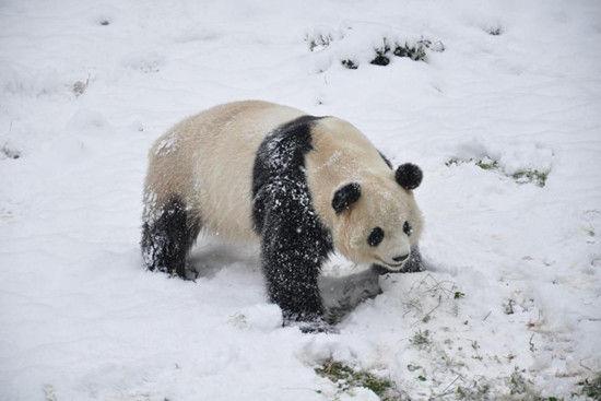 云南昆明下雪 大熊猫开心雪地撒欢