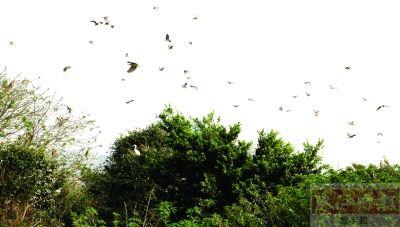 春意盎然 禅城南庄绿岛湖内,鹭鸟惬意地于蓝天飞翔.
