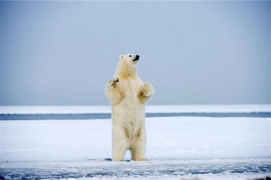 据悉,这组冰舞熊的图片是44岁的野生动物摄影师史蒂文卡兹洛斯基(Steven Kazlowski)拍摄的。图中的两头北极熊只用两条小短腿站立,昂头、挺胸、收腹的标准站姿让它们颇有些人模人样。它们时而用肥嘟嘟的前爪在空中挥舞,时而摇摇欲坠地弯腰撅起屁股,时而又手拉手转几个圈圈。难以想象,看起来憨实笨重的北极熊竟有如此的艺术天赋,动作花样繁多,舞姿优美动人。 两条小短腿站立的北极熊