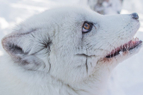探访挪威北极动物园:狐狸热情狼亲吻游客