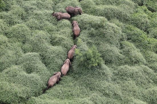 航拍图曝光肯尼亚大象遭毒杀象牙被拔惨景