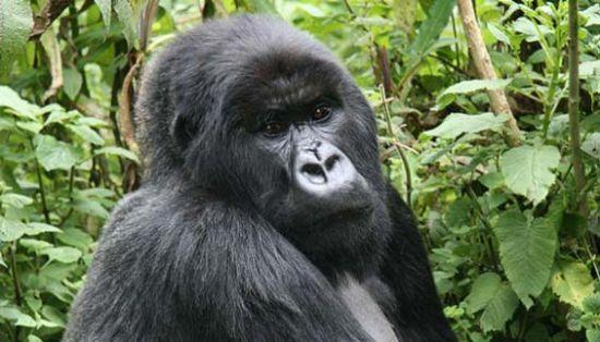 刚果共和国的大猩猩图片