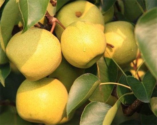 梨:催长素令其早熟   使用膨大素、催长素令其早熟,再用漂白粉、着色剂(柠檬黄)为其漂白染色。处理过的梨汁少味淡,有时还会伴有异味和腐臭味。这种毒梨存放时间短,易腐烂。   苹果:催红素增色   用膨大素催个,催红素增色,防腐剂保鲜。过量使用膨大素、催红素、防腐剂会伤害肝脏。零售果贩还会给苹果打上工业石蜡,目的是保持水分,是果体鲜亮有卖相。   西瓜:膨大剂催大   超标使用催熟剂、膨大剂和剧毒农药,这种西瓜皮上的条纹不均匀,切开后瓜瓤新鲜,瓜子呈白色,有异味。