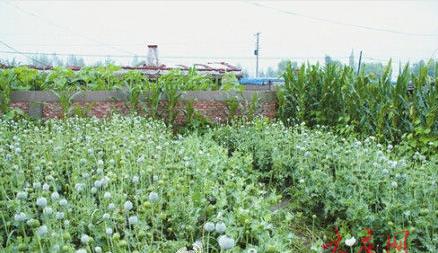地里种满了罂粟