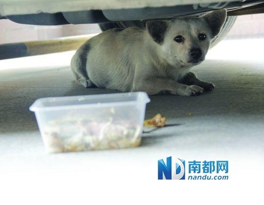 狗狗躲在车底下望着外面的世界,它的跟前是好心业主送来的食物。实习生 陈靖斌 摄