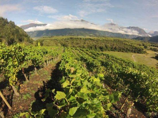 1. 佳丽酿(Carignan)   佳丽酿在智利南部的伊塔塔谷(Itata Valley)和莫莱谷(Maule Valley)已经种植了一百多年。佳丽酿酸味十足,特别适宜与烧烤搭配,在当地该品种常与派斯(Pais)混酿以提升葡萄酒的风味和结构。近年来小厂商开始用这种葡萄酿制单品酒。   相关小厂商:Garcia & Schwaderer、Garage Wine Co。和Gillmore and Lapostolles VIGNO Carignan。   2.