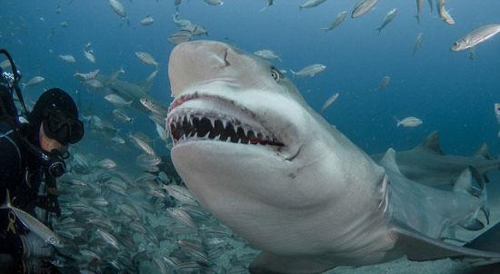 【环球网综合报道】据英国《每日邮报》8月19日报道,美国野生动物摄影师约翰•沙帕(John Chapa)日前于佛罗里达州拍摄了一组柠檬鲨进食的画面。画面中柠檬鲨张开大嘴,露出一排排尖锐锋利的牙齿,准备享受美食。   据悉,照片拍摄地位佛罗里达州朱庇特海域,当时沙帕正带着一队游客去观看可怕的生物,为勇敢的度假者提供自己近距离观看它们进食时刻。拍摄时,沙帕距柠檬鲨的食物只有几英寸,在他助手卡梅伦•尼姆(Cameron Nimmo)扔出鱼饵后,柠檬鲨径直朝他游来,张开大嘴似乎准备好