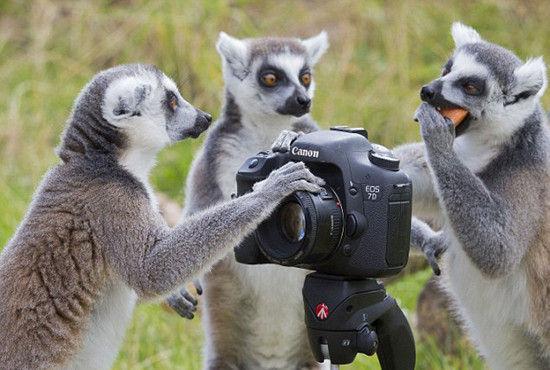 英国调皮狐猴摆弄相机酷似专业摄影师