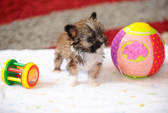 英国吉娃娃仅10公分高或为世界最小狗