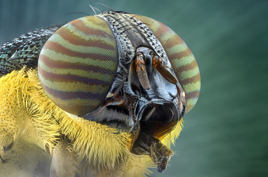 一只苍蝇的头部