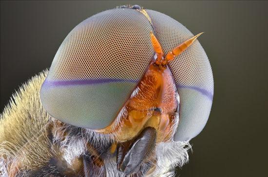 新浪科技讯 北京时间8月26日消息,据国外媒体报道,印尼野生动物摄影师约迪-萨乌擅长以昆虫为主题的微距摄影。在位于印尼万丹的摄影工作室内,约迪常常将苍蝇、甲虫、蚂蚁等各种昆虫放置于距离相机镜头不到1英寸的位置进行微距拍摄。约迪的工作让那些平时看起来极为普通的小昆虫也能够成为镜头的焦点,其微距摄影作品以独特的视角展现了小昆虫们或美丽可爱、或绚丽多彩、或奇特怪异的另一面。(彬彬) 长角甲虫面目狰狞恐怖