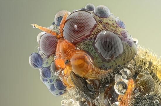 据国外媒体报道,印尼野生动物摄影师约迪-萨乌擅长以昆虫为主题的微距