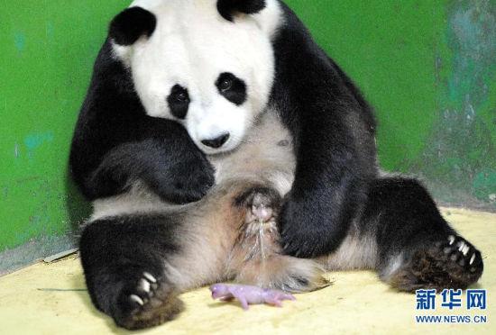三胞胎大熊猫满月成长记向全球征集名字