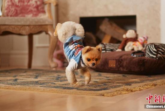 萌犬破两项世界纪录:只用后腿或前肢奔跑