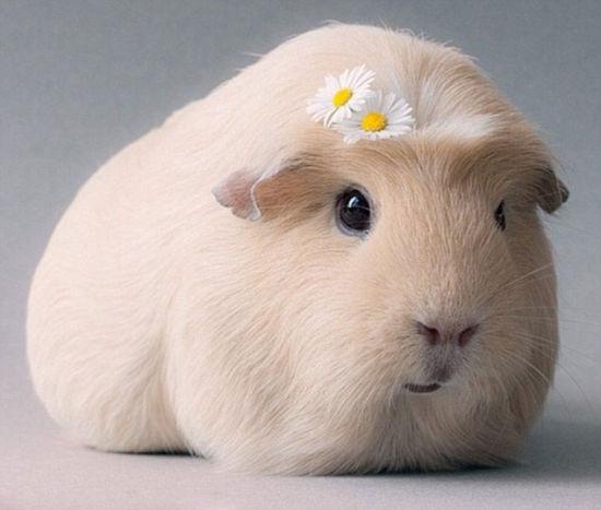 宠物萌照:荷兰天竺鼠造型时尚变网络明星