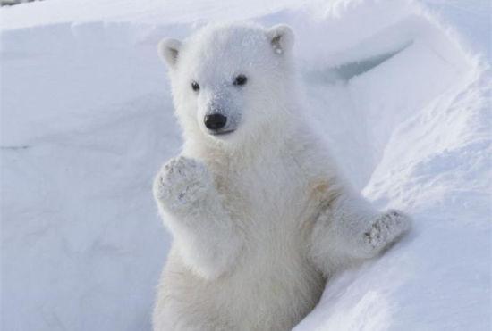 北极熊挥手作揖可爱动作萌翻众人