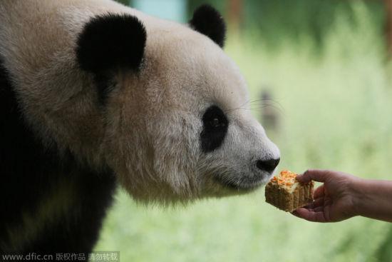 野生动物过中秋:大熊猫吃特制月饼吃上瘾