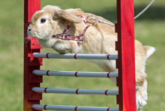 德国举办兔子跨栏比赛萌态十足滑稽可爱