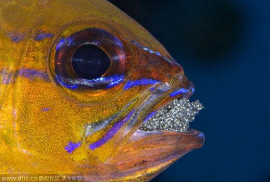 雄性天竺鲷口衔数百卵:孵化之前不再进食