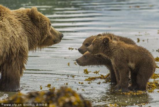 """熊妈妈下水解暑熊宝宝趴背上当""""游船"""""""