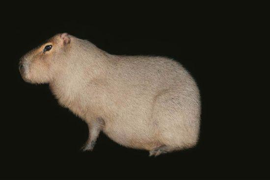 刺猬(Hedgehogs)是位出色的乐手,它们可以用咕噜声、啾啾声、嘶嘶声、尖叫声来表达自己的喜好和心情。当面临危险,刺猬会紧紧卷成一团,将刺朝外。刺猬是夜行动物,因为它们的大部分猎物也是如此。    这是一条缅甸蟒(Burmese python),身长12英尺,生活在东南亚森林湿地中。   巨型果蝠(giant fruit bat)。