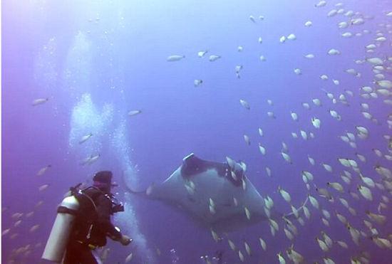 蝠鲼被鱼线缠住无法脱身向潜水员求助