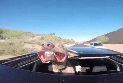 狗狗坐车将头伸出天窗迎面吹风吹成面瘫