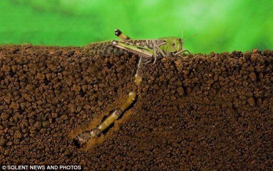 揭秘蝗虫产卵全过程:生殖器超出身体两倍