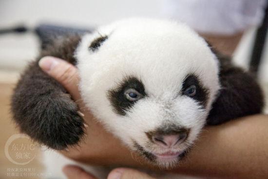 """熊猫宝宝顺利""""开眼"""""""