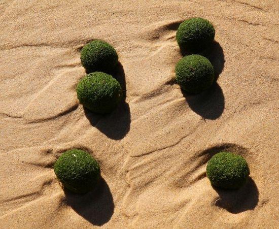 """悉尼海滩现大量神秘绿色抱团""""海藻蛋"""""""