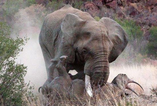 大块头有大对决:狂暴大象暴力掀翻黑犀牛