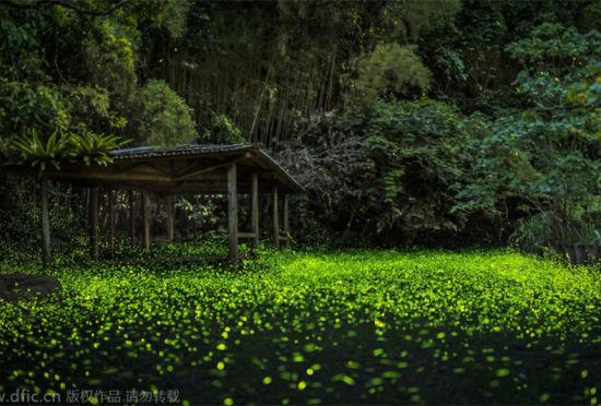 森林的唯美童话:数千萤火虫漫天飞舞