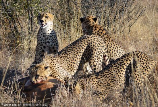 弱肉强食的世界:猎豹联合攻击一只赤狷羚