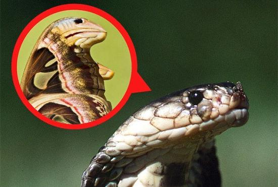 奇特飞蛾翅膀图案酷似眼镜蛇吓走捕食者