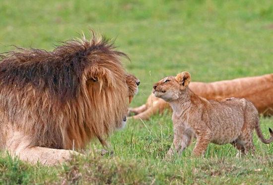 小狮子张牙舞爪向爸爸示威惹雄狮怒吼