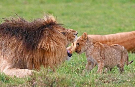 法国摄影师 Laurent Renaud 和 Dominque Haution最近在非洲肯尼亚动物保护区拍摄到了非常有趣的狮子父子互动场面。   从这组发布在社交媒体的图片看,一头刚出生几个月的小狮子主动走到爸爸面前,张开自己的小嘴巴冲着雄狮吼起来,似乎是想引起后者的注意。   被小狮子龇牙咧嘴表情弄得不耐烦的雄狮则张开血盆大口怒吼一番,结果吓得小狮子一动不动。雄狮见状用嘴巴叼起小狮子,将它送到其兄弟附近玩耍。   摄影师戏称,小家伙向爸爸展示自己的吼功,结果因为表现太差,惹得老爹给亲自示范了一