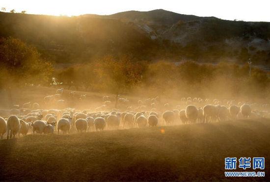内蒙古西拉沐伦河畔迎来丰收草原牧归