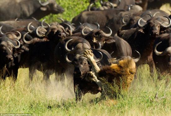 南非孤独受伤雄狮被大群水牛踩踏致死