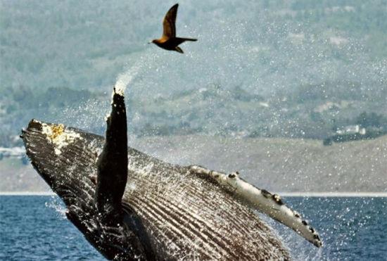 动物多奇趣座头鲸跃出水面向小鸟打招呼
