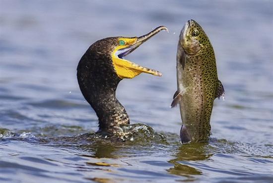 一击即中实拍饥饿鸬鹚捕食虹鳟鱼瞬间