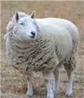 绵羊误食大麻