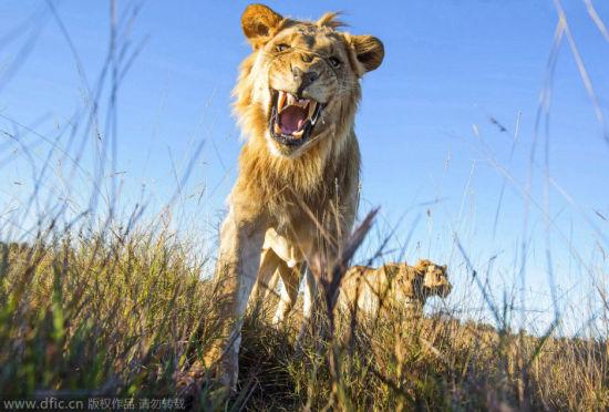 遥控相机野外拍狮子:狂野不羁又好奇呆萌